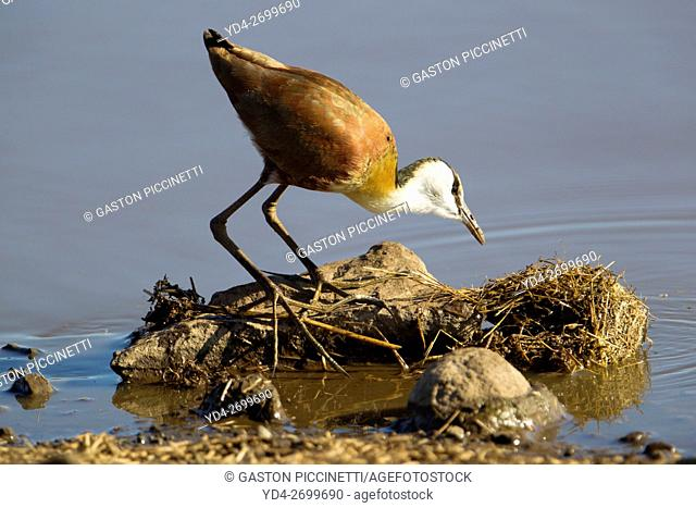 African Jacana (Actophilornis africanus), Kruger National Park, South Africa