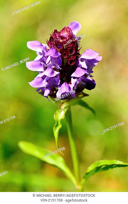 Self-heal Wildflower