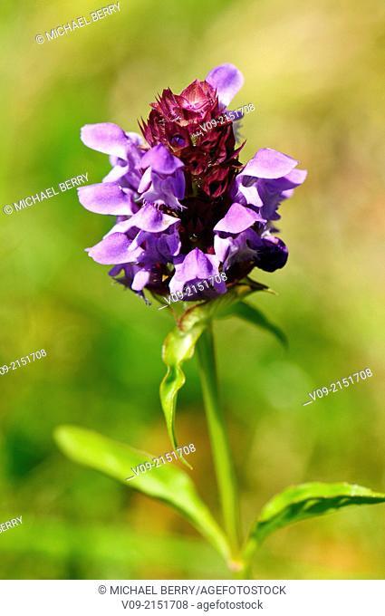 Self-heal Wildflower