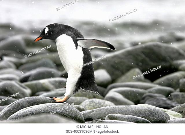 Adult Gentoo Penguin Pygoscelis papua leaping from rock to rock on the beach in Antarctica