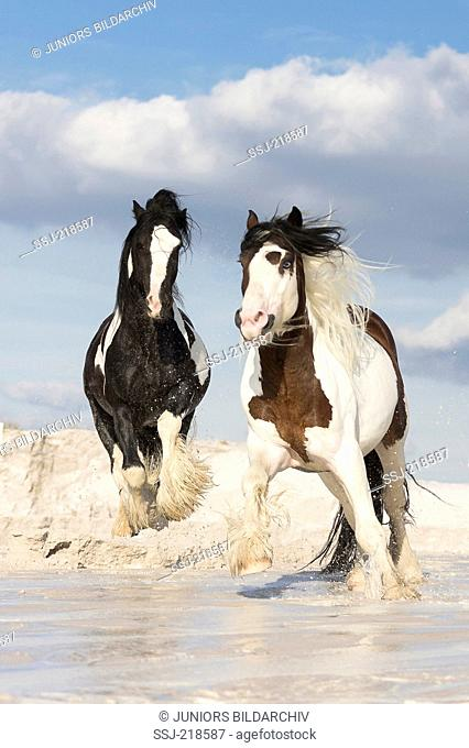 Gypsy Cob. Pair of stallions chasing each other on wet kaolin sand. Poland