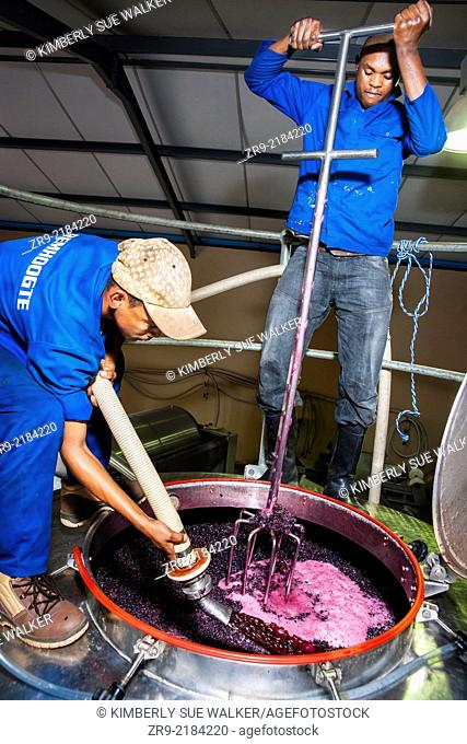 Two farm worker men pressing or punching grapes in a steel tank during autumn harvest, cellar operations, Remhoogte Winery Estate, Stellenbosch, Winelands