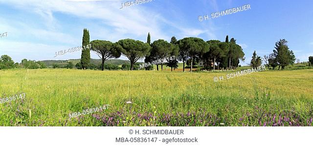 Pines and cypresses in Tuscany scenery