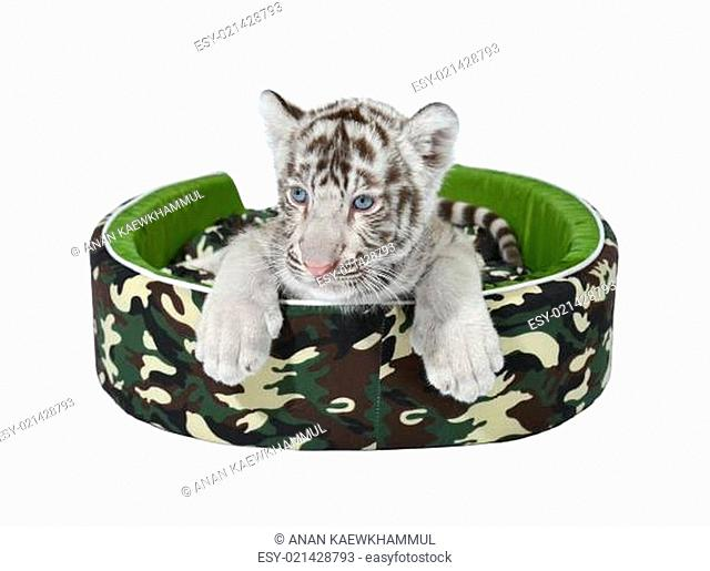 baby white tiger laying in a mattress isolated