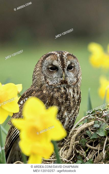 Tawny Owl - Cornwall - UK