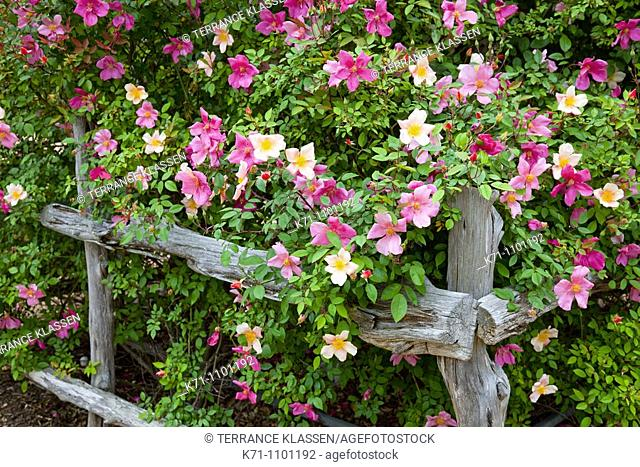 An old rustic fence and multicolored roses in the German village of Fredericksburg, Texas, USA