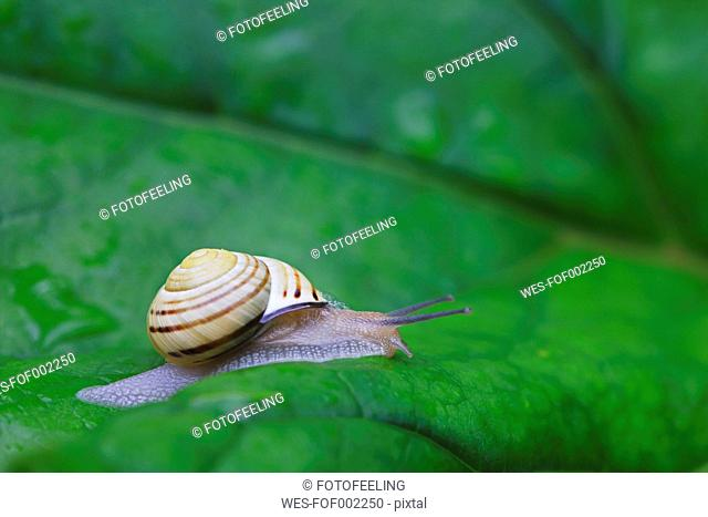 Europe, Croatia, Jezera, Grove snail crawling on leaf, close up