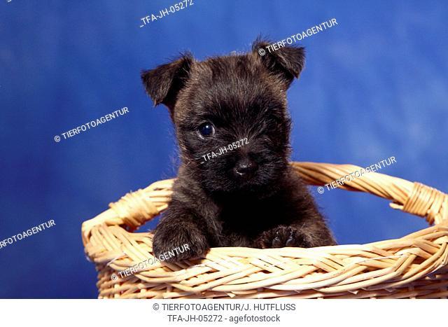 Cairn Terrier in basket