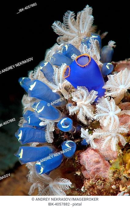 Blue Tunicate Sea Squirt or Stalked Ascidian (Clavelina robusta), Bohol Sea, Philippines