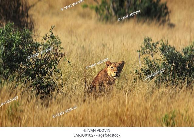Female lion, Murchison Falls Conservation Area, Uganda, Africa