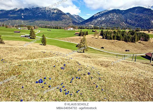 Buckelwiesen' (hummocky meadows) in spring