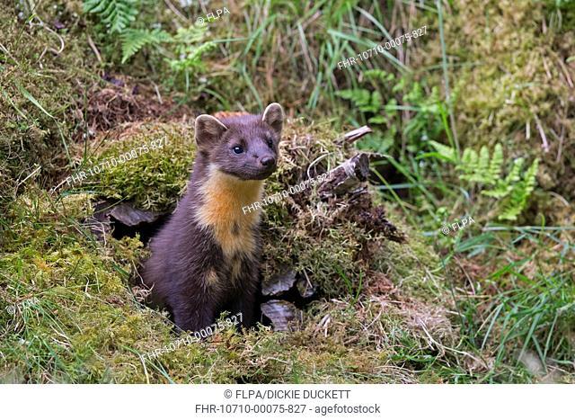 Pine Marten (Martes martes) adult, emerging from moss covered hollow log, Perthshire, Highlands, Scotland, July