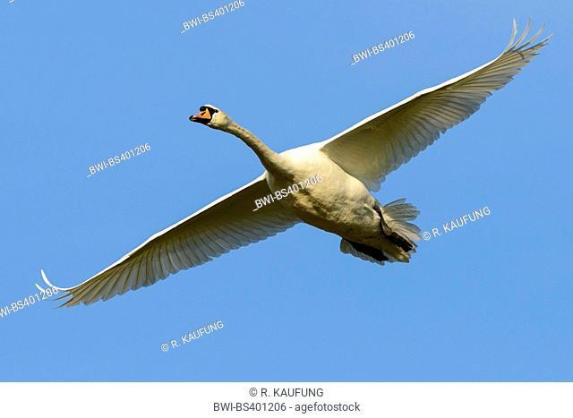 mute swan (Cygnus olor), in flight, Germany