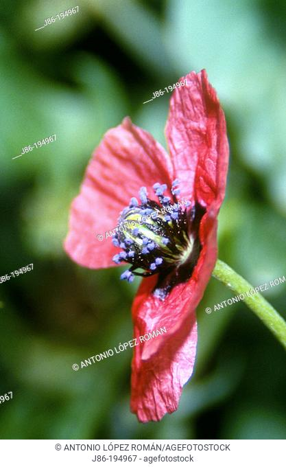 Poppy (Papaver argemone)