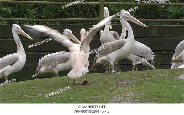 White Pelicans standing on grass with wooden fence and trees behind