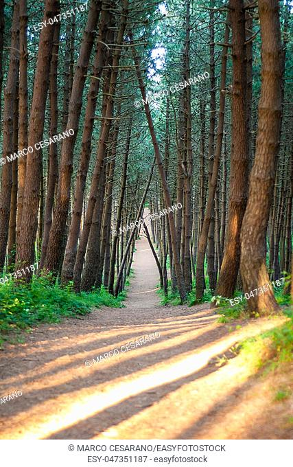 The path in the pine forest, with the plot trees, on a warm spring day