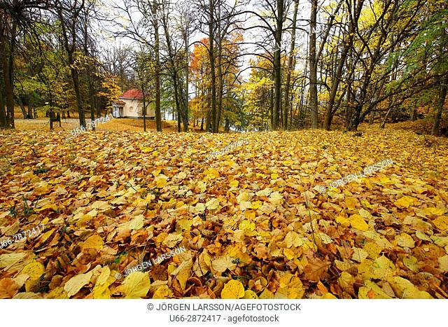 Trees among yellow leaves, Botkyrka, Stockholm, Sweden
