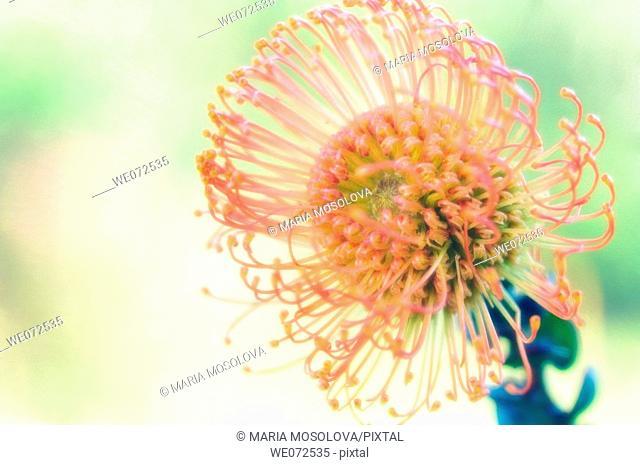 King Protea. Protea cynaroides. May 2006, Maryland, USA