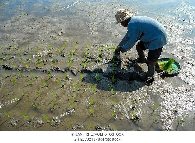 man planting riceplants at field or paddy in bali, Indonesia