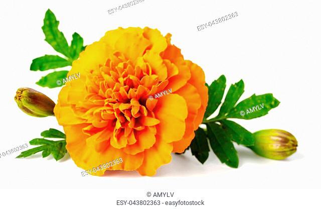 closeup of fresh marigold flower isolated on white background