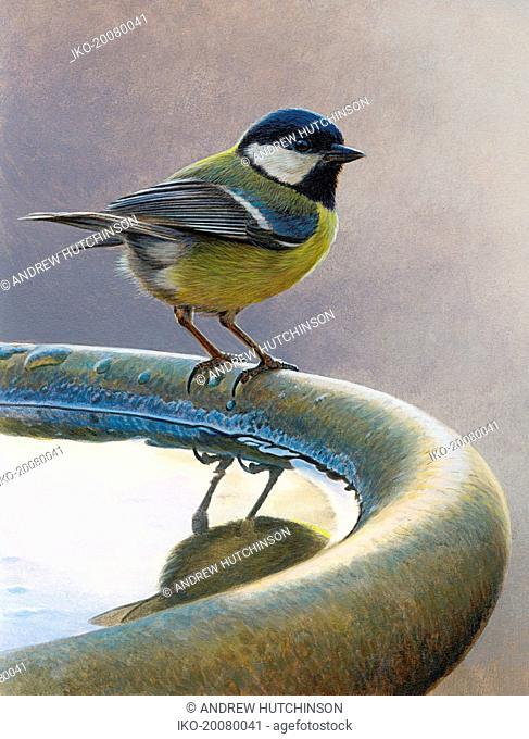 Bird standing on birdbath, Great tit (Parus major)