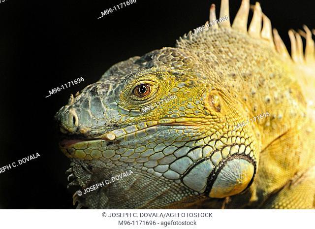 Iguana lizard, Wildlife Waystation, Angeles National Forest, California, USA
