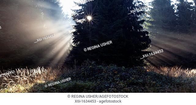 Morning Sunlight, Filtering through Fir Trees in Autumn Mist, Reinhardswald, Hessen, Germany