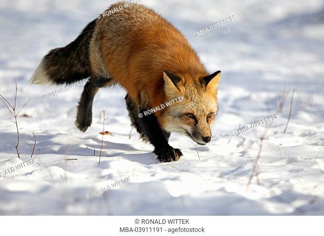 red fox, Vulpes vulpes, full length portrait