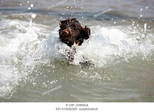 a wet young brown working type cocker spaniel puppy leaping into