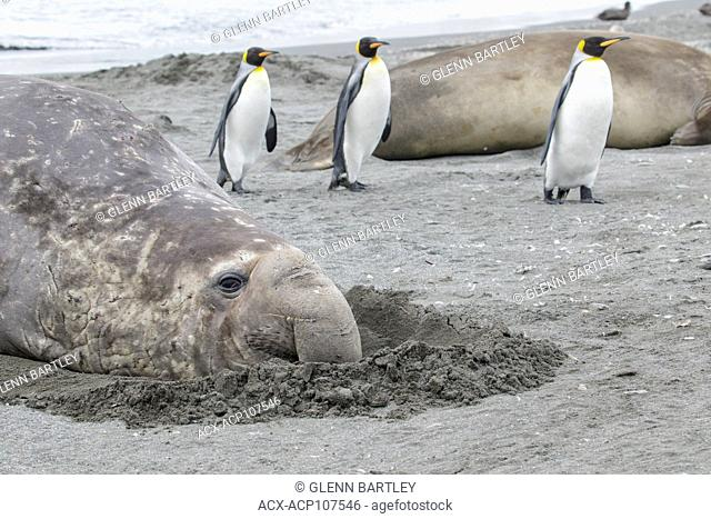 Elephant Seals, Mirounga angustirostris laying on the sand amidst King Penguins, Aptenodytes patagonicus in the South Georgia Island