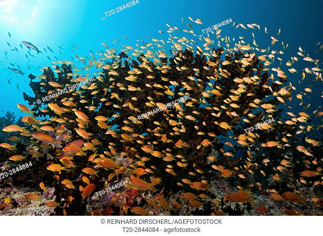 Lyretail Anthias over Coral Reef, Pseudanthias squamipinnis, South Male Atoll, Maldives
