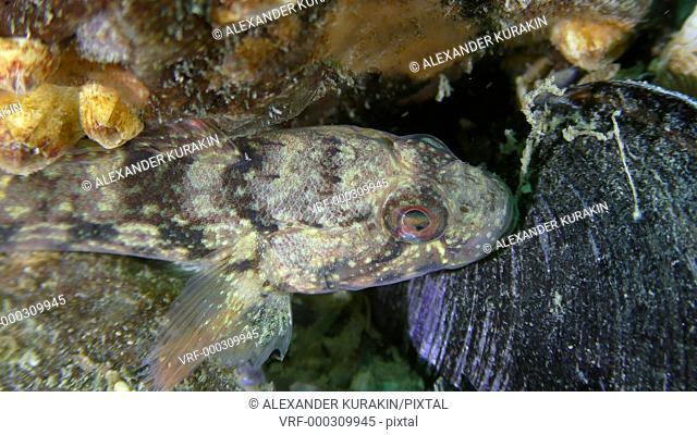 Sea fish Ratan goby (Neogobius ratan) lies on the bottom, close-up