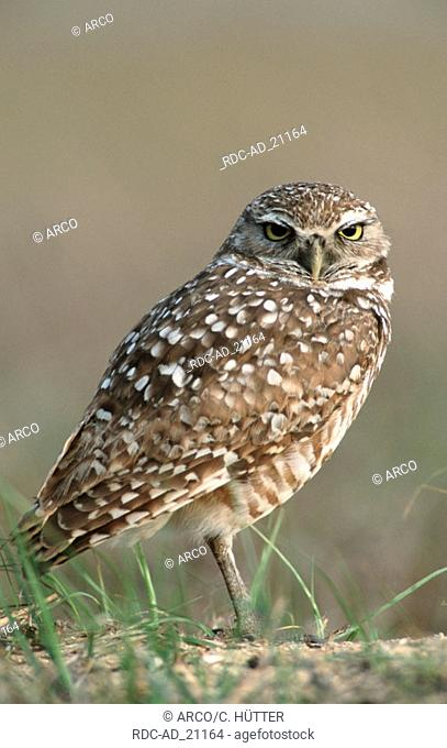 Burrowing Owl Florida USA Athene cunicularia side