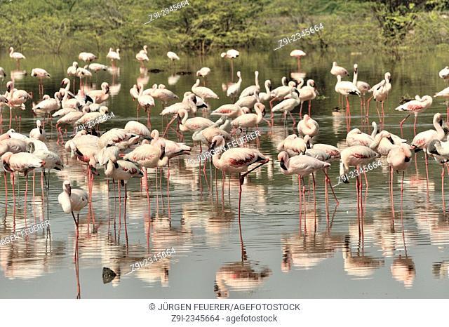 Swarms of flamingos, lesser flamingos, Phoeniconaias minor, at Lake Bogoria in the Rift Valley, Kenya
