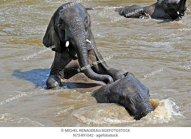 Elephants mating, Kruger National Park, Mpumalonga, South Africa