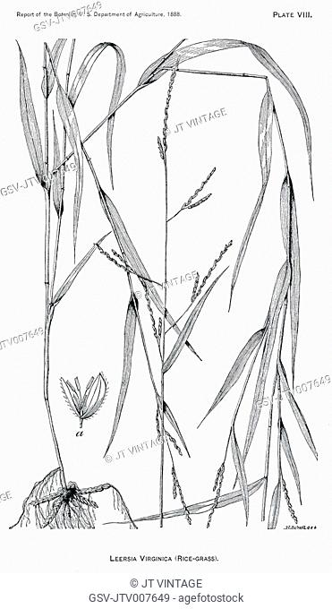 Grasses and Weeds, Leersia Virginica, Rice Grass, Report of the Commissioner of Agriculture, US Dept of Agriculture, Illustration, 1888