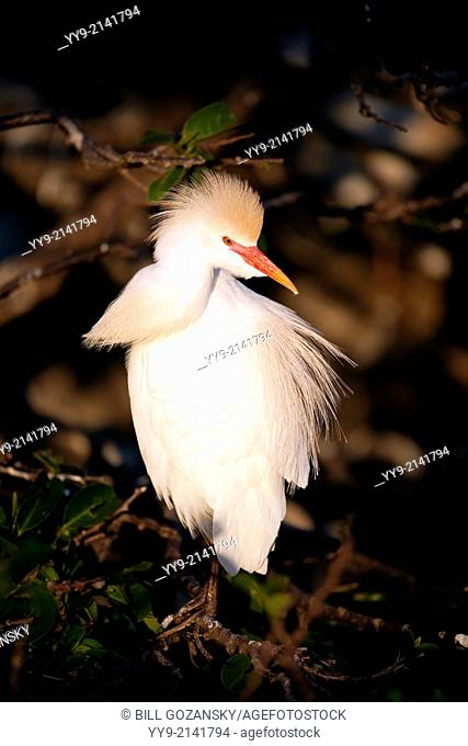Cattle Egret - Wakodahatchee Wetlands - Delray Beach, Florida USA