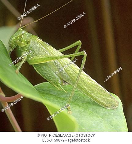 Grasshoper. Poland