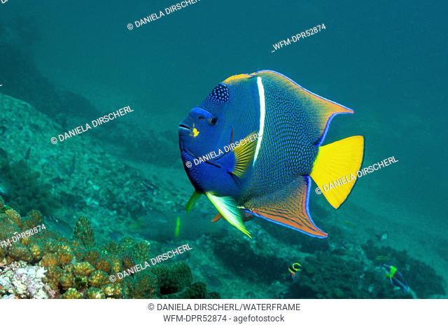 King Angelfish, Holocanthus passer, Cabo San Lucas, Baja California Sur, Mexico