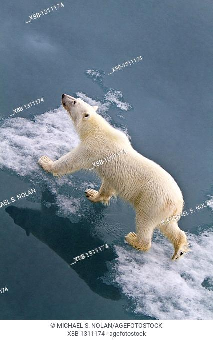 Young curious female polar bear Ursus maritimus approaches the Lindblad Expedition ship National Geographic Explorer on fast ice near Hinlopen Strait off the...