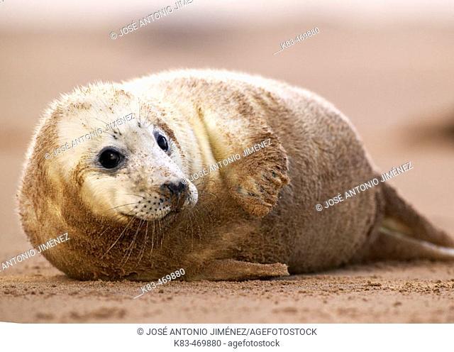 Grey Seal (Halichoerus grypus). Donna Nook National Nature Reserve, England. UK