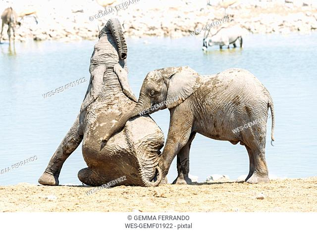 Africa, Namibia, Baby elephants playing next to a waterhole in Etosha National Park