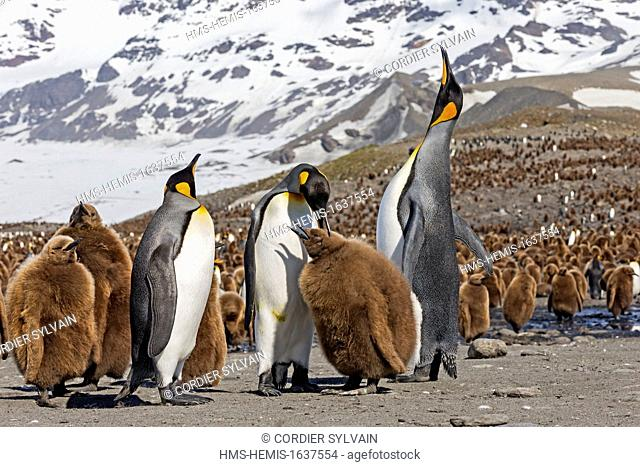 Antarctic, South Georgia Island, Saint Andrews plains, King Penguin (Aptenodytes patagonicus), yougs in brown and adults