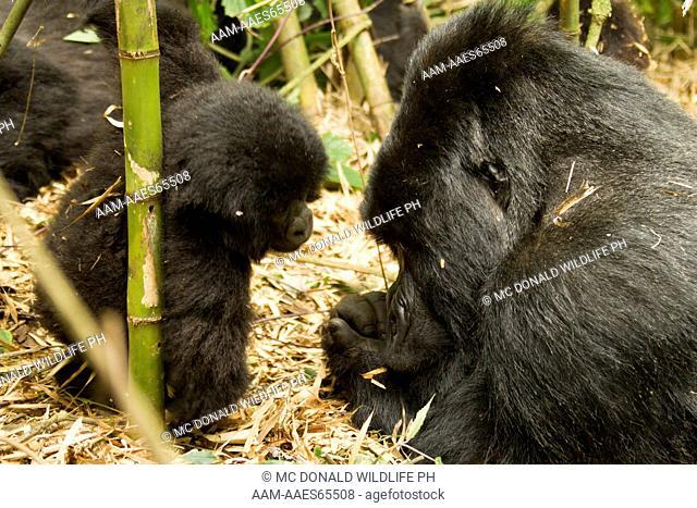 Mountain Gorilla (Gorilla gorilla beringei) Agashya Group (13), Volcanoes National Park, Rwanda