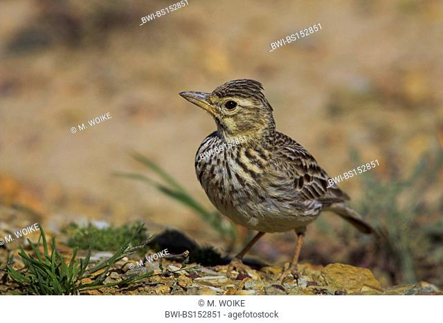 large-billed lark (Calendula magnirostris), on the ground, South Africa, Cape Province