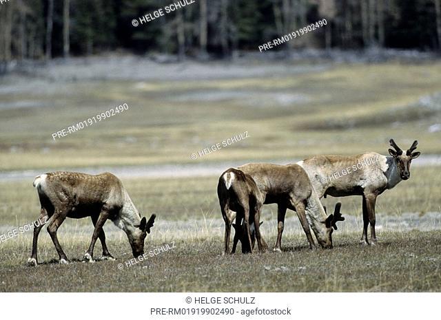 Woodland Caribou, bulls, Reindeer, Rangifer tarandus, Rangifer tarandus caribou
