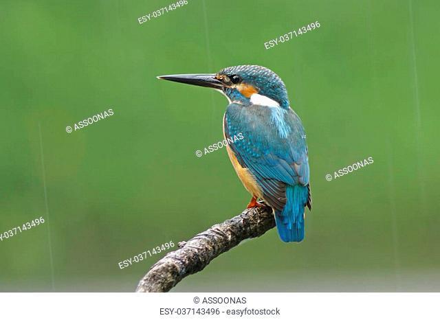 Common Kingfisher Alcedo atthis Male Falling rain