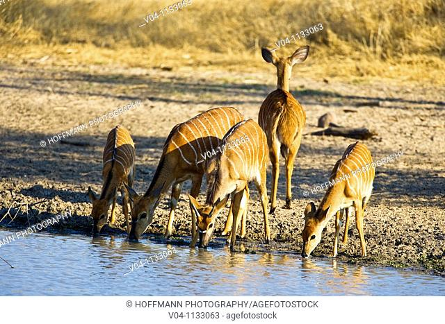 A group of nyalas (Tragelaphus angasii) drinking at a waterhole in South Africa