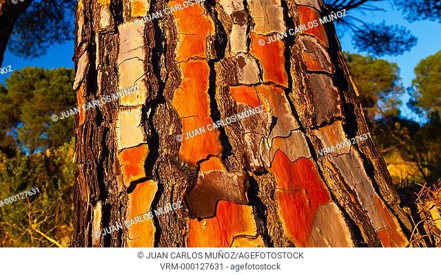Stone pine, Andujar Natural Park, Jaen, Andalusia, Spain