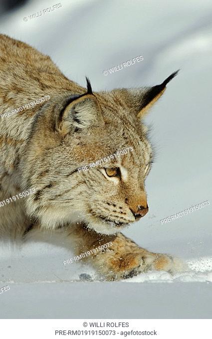 European lynx in winter, Lynx lynx, Scandinavia, Europe